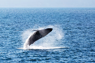 WhaleWatchingVoyages-400