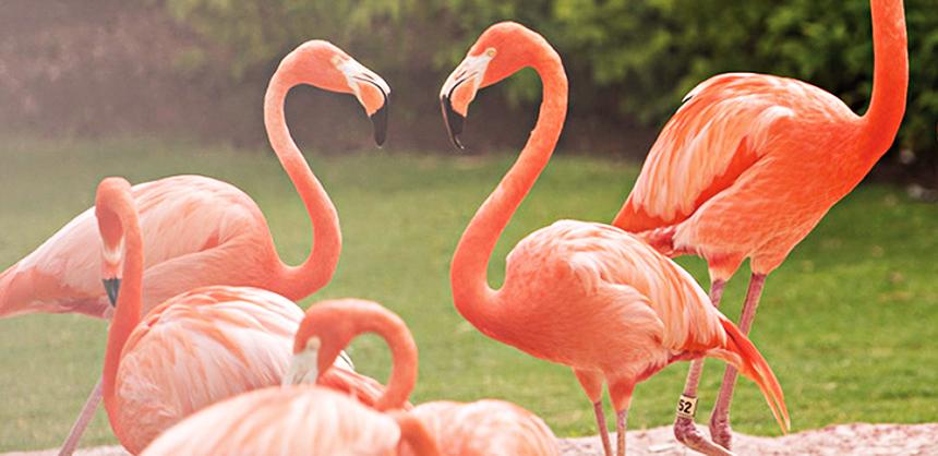 Baha Mar's flamingos add to its natural beauty.